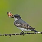Eastern Kingbird with Butterfly by photosbyjoe
