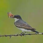 Eastern Kingbird with Butterfly by photosbyjoe