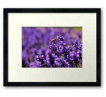 Wasp amongst the lavender Framed Print