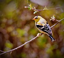 Goldfinch by GailDouglas