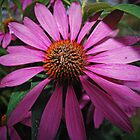 Enchinacea  by GailDouglas