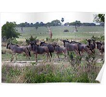 Wildebeest herd Poster