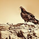 Turkey Vulture by Diego Re