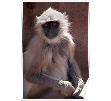 Langur Monkey at Ranthambore Fort Poster