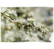 Cherry Tree Branch Poster