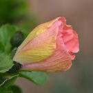 Hibiscus Bud by TheaShutterbug