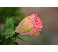 Hibiscus Bud Photographic Print