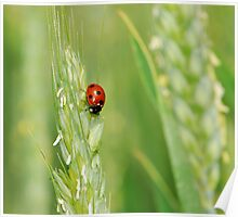 ladybug and ear of wheat Poster