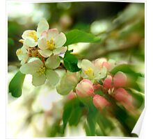 Apple Blooms.......... Poster