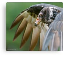 Juvenile Turkey Vulture Canvas Print