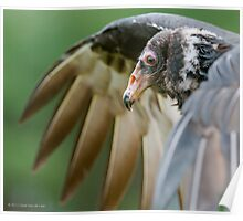 Juvenile Turkey Vulture Poster