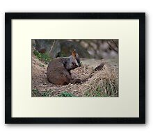 Brush-tailed Rock Wallaby Framed Print