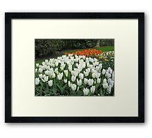 Pristine Tulips - Keukenhof Gardens Framed Print