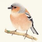 Chaffinch by Catherine Gabriel