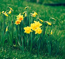 Cluster of Daffodils by Jose Vazquez
