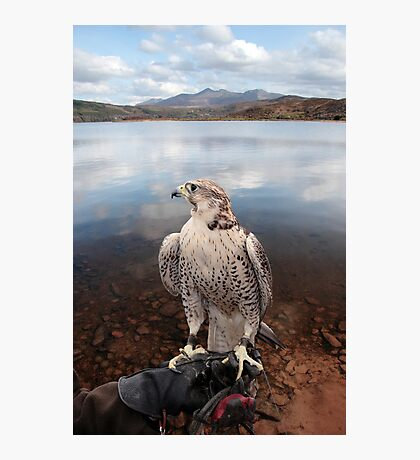 falcon perched on gloved hand with lake scene Photographic Print