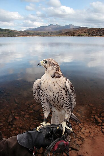 falcon perched on gloved hand with lake scene by morrbyte
