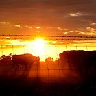 Cattle in the Sunset by Jodi Kneebone