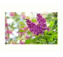 Branch of lilac flowers Art Print