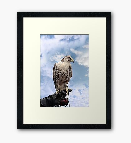 falcon perched on leather glove Framed Print