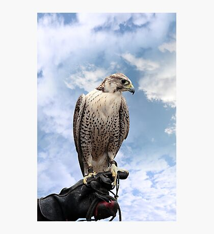 falcon perched on leather glove Photographic Print