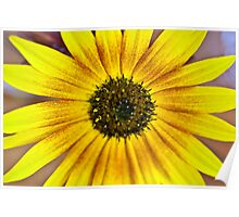 Sunflower yellow Poster