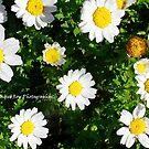 Daisy Daisy - Hunter Valley, NSW by CandiceRose