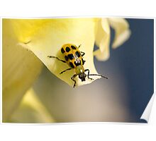 Bug on a Flower (Spotted Cucumber Beetle) Poster