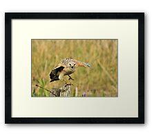 Red Shoulder Hawk Taking Flight Framed Print