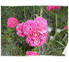 Alberta Red Rose Flower Poster