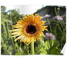 Gerber Daisy Flower Poster