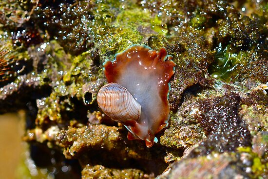 African Bubble Shell (Hydatina physis) by DebbyTownsend