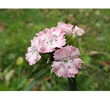 Sweet Williams Flowers Photographic Print