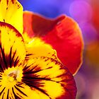 Pansy Rainbow by Beth Mason