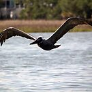 Pelican on the Wing by Peggy Berger