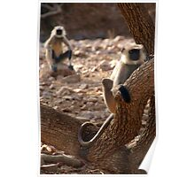 Langur Monkey in Tree Ranthambore Poster