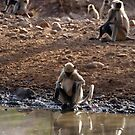Langur Monkeys at Waterhole Ranthambore by SerenaB
