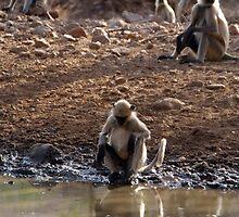 Langur Monkeys at Waterhole Ranthambore by SerenaB