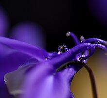 Droplets in Aquilegia by PhotoTamara