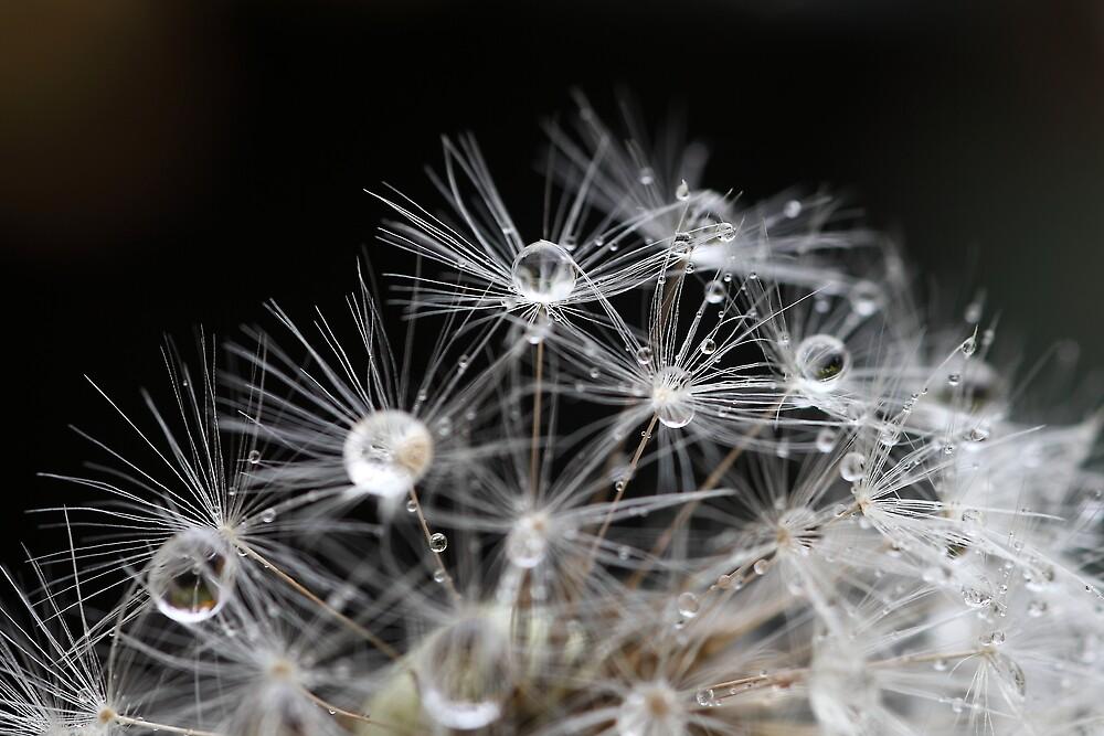 Droplets in dandelion by PhotoTamara