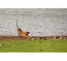 Tiger Stretching Ranthambore Photographic Print