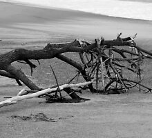 Beached Tree by Stan Owen