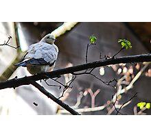 Pied Imperial Pigeon Photographic Print