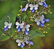 Clerodendrum ugandense by venny
