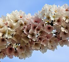 Cherry Blossoms by Kira  Westra
