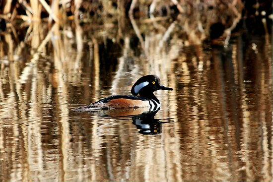 Male Hooded Merganser by Larry Trupp