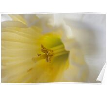 Daffodil white with yellow center.  Poster