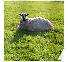 Quirky Sheep Poster