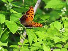 Eastern Comma by Ron Russell