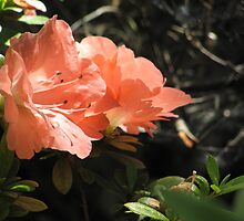 Azalea blaze by Mike Shell